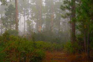 Trail through Florida Pine Forest